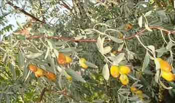 100 den fazla hastalığa iyi gelen bitki