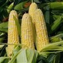 Есть хитрый способ получить больше початков, распространенный у бывалых овощеводов.  Сажают кукурузу в два ряда и у...