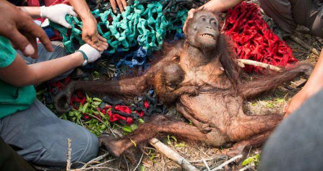 Bir deri bir kemik kalmış orangutanların müthiş kurtuluşu