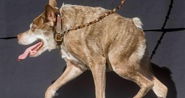 Yılın en çirkin köpeği