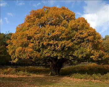 Обои HQOak tree autumn 1600 x 1200.