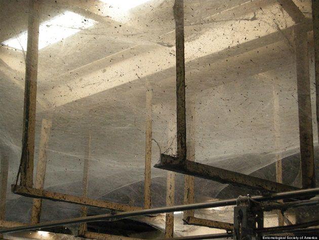 107 milyon örümcek binayı istila etti