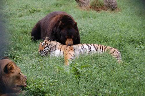Aslan avının hamile olduğunu görünce...
