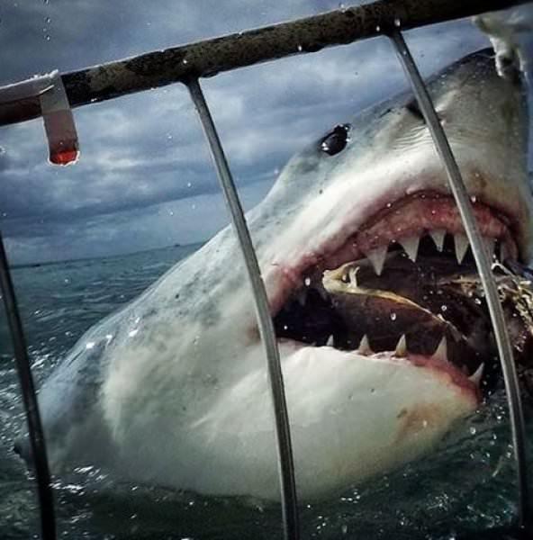 Dünyanın en vahşi köpekbalığı