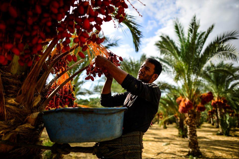 Gazze'de hurma hasadı başladı