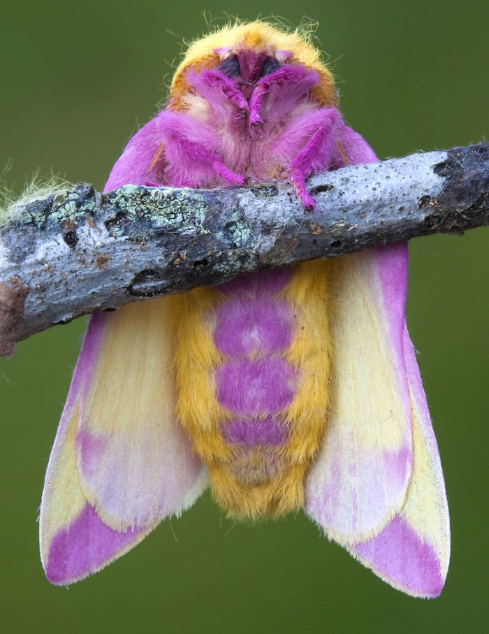 Rosy Maple Moth Tumblr images  hdimagelibcom