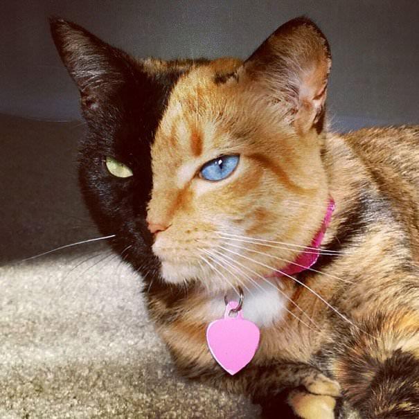 İki yüzlü kedi 'Venüs'