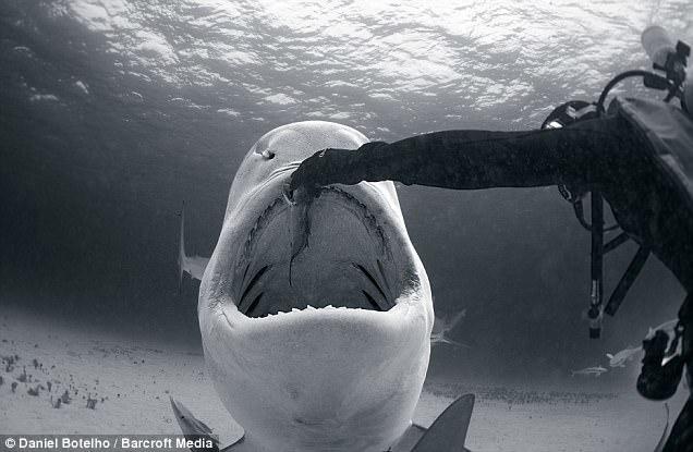 Köpek balığını elleriyle böyle besledi