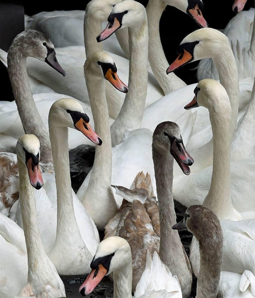 Kuğuların kış yolculuğu