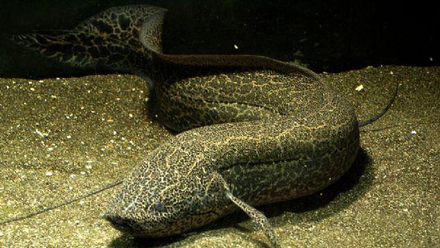 Kurak toprağın altından çıkartılan balık şoke etti