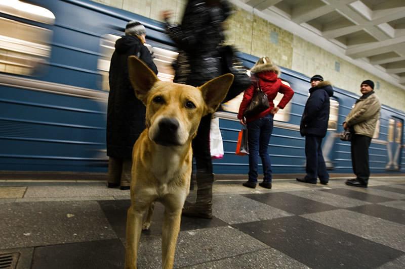Metro kullanan sokak köpekleri