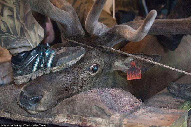 Sibirya'da geyiklere akıl almaz işkence!