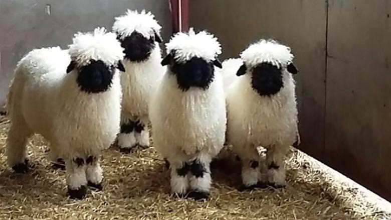 Valais Blacknose cinsi minnoş koyunlar