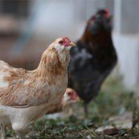 'Yeşil yumurtlayan tavuk' karaborsa oldu