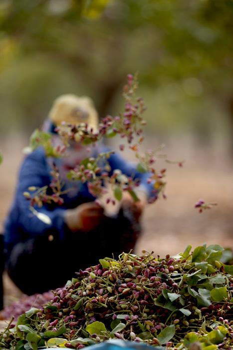 Suriye sınırının sıfır noktasında fıstık hasadı…