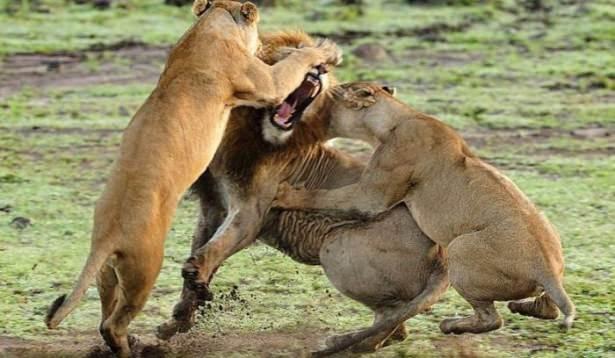 Aslan kralın karizma yerle bir oldu