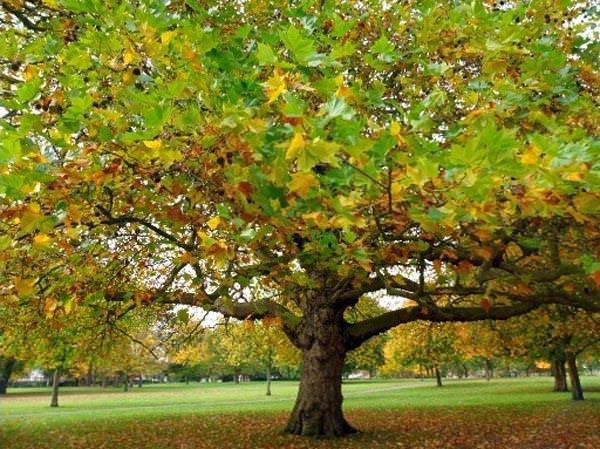 Bir ağaçtan fazlası: Çınar