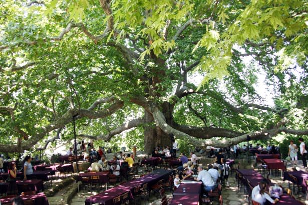 Çınar ağacının inanılmaz etkileri !