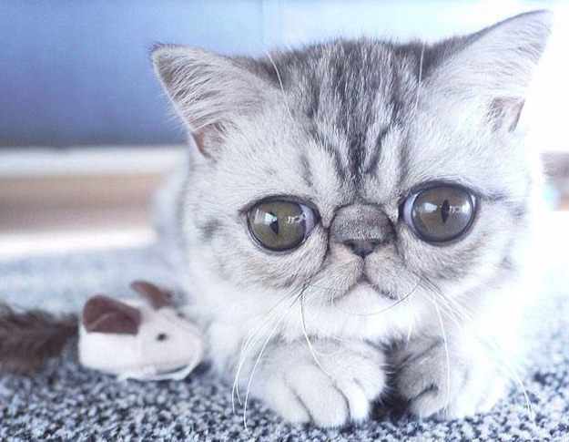 İfadesiyle şaşırtan sevimli kedi