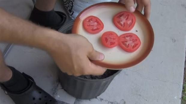 İlginç domates deneyi!