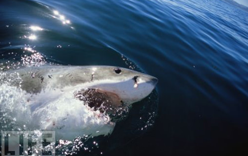 Shark with mouth open side view