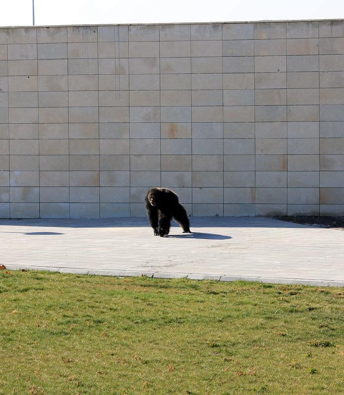 Kafesinden kaçan şempanze şehri birbirine kattı