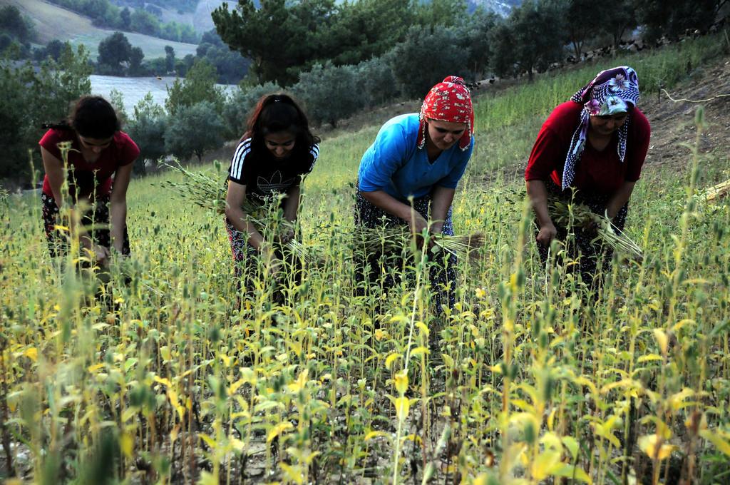 Kıraç arazilerden sofralara gelen lezzet: Tahin