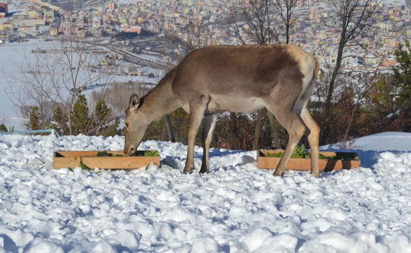 Kızıl geyikler doğaya uyum sağladı