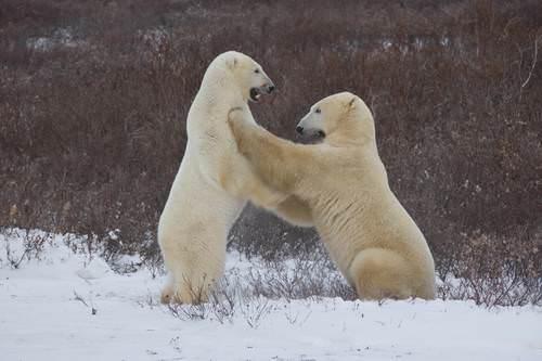 Çok soğuk iklimlerde yaşayan hayvanların yaşam nedenleri