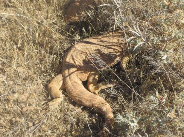 Nesli tehlikede olan Varan Şanlıurfa'da görüldü