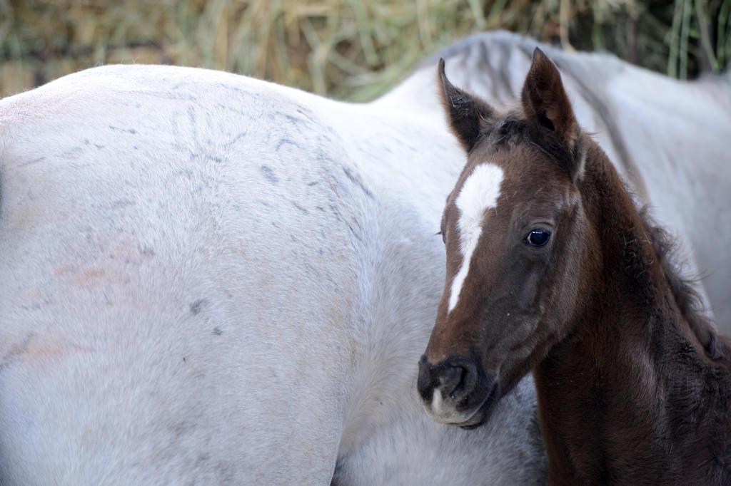 Şampiyon Atların Yetiştirildiği Sultansuyu'nda Tay Heyecanı