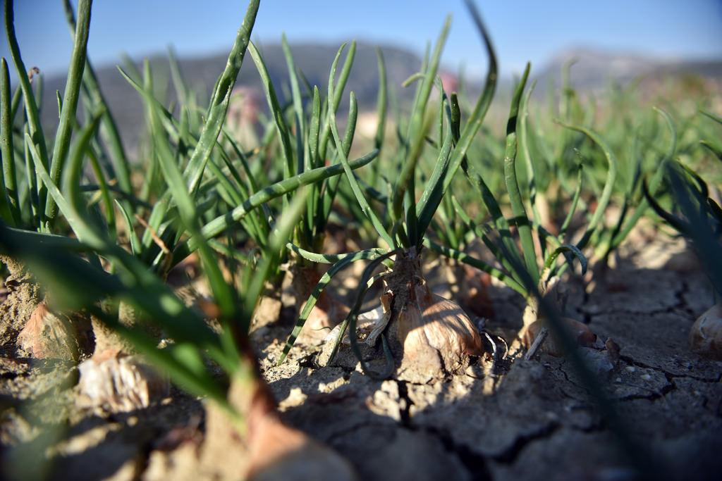 Sel vuran tarlalarda yeşil soğan hasadı