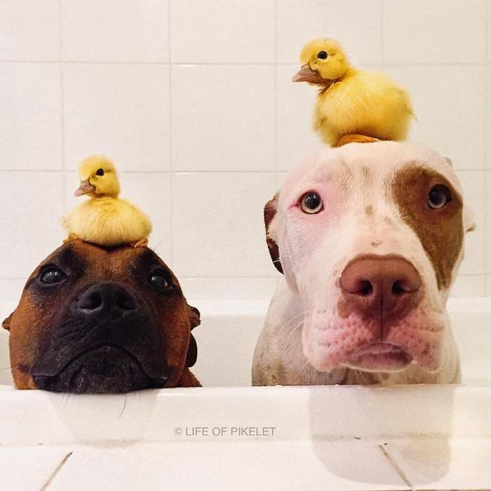 Yavru Ördeklere Babalık Yapan Köpekler