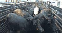 Canl� hayvan ithali fiyatlar� d���rd�