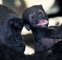 Yavru goril ilgi g�rd�k�e daha da ��mar�yor