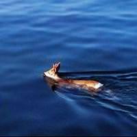 K�peklerden ka�an karaca denize atlad�