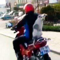 Motosiklet selesinde köpek yolcu var