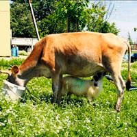 Annesi bıraktı, inek sahip çıktı