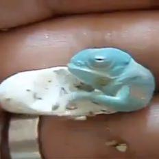 Bukalemunun doğum anı