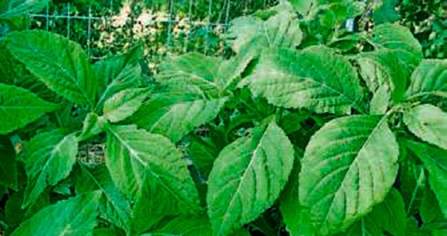 Gençleri bekleyen yeni tehlike: Salvia divinorium