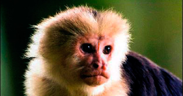 İngiltere'de firari maymun alarmı...