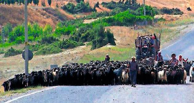 Sertifikalı çoban kursu başlıyor