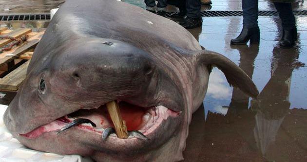 Bursa'da balıkçıların ağına 673 kiloluk jaws takıldı