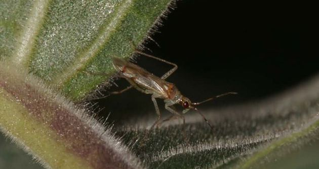 'Ajan böcek'ten ekonomiye 43 milyon dolar katkı