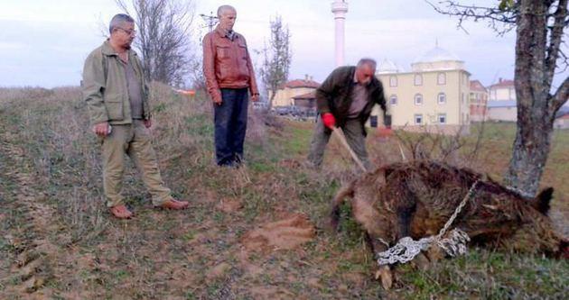 Ceset yiyen ayı taşınıyor