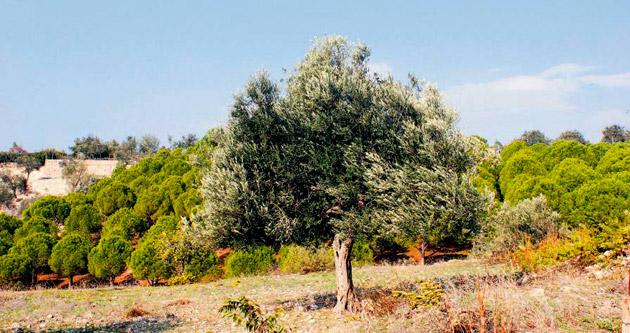 'Ölmez ağacı'ndan gelen gençlik iksiri