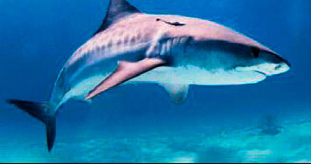 Köpekbalığı, ceset parçalarını yedi