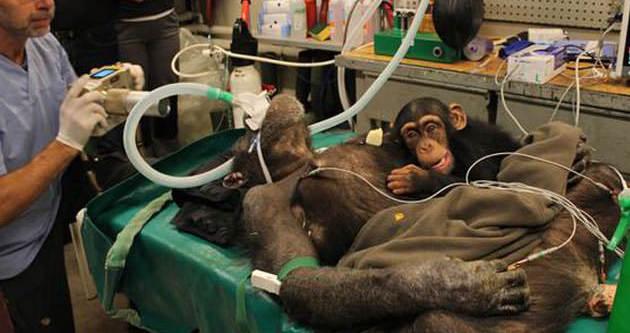 Yavru şempanzenin anne sevgisi