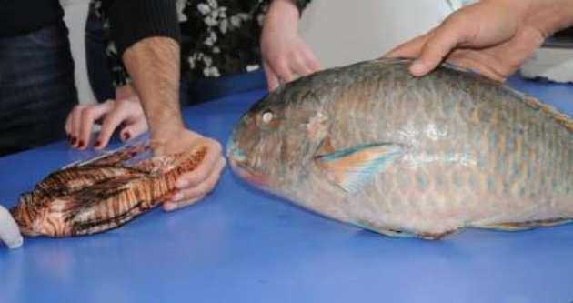 Akdeniz zehirli balık doldu