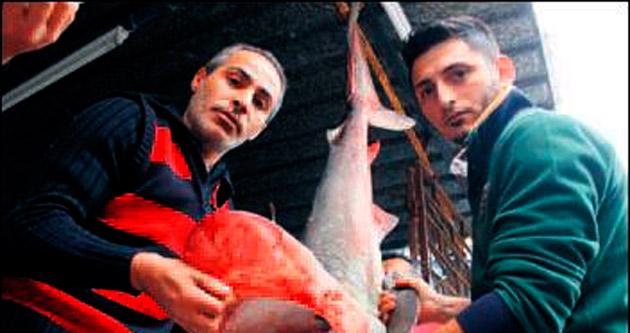Balıkçı oltasında dev köpek balığı